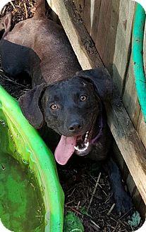 Labrador Retriever/Hound (Unknown Type) Mix Dog for adoption in Livonia, Michigan - Jade-ADOPTED