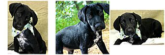 Pointer Mix Puppy for adoption in Forked River, New Jersey - Darrin