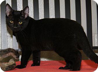 Domestic Shorthair Cat for adoption in Marietta, Ohio - Octavia (Spayed)