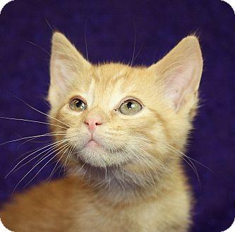 Manx Kitten for adoption in Jackson, Michigan - Tommy