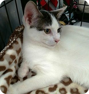 Domestic Shorthair Cat for adoption in Houston, Texas - Jordan