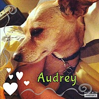 Chihuahua Dog for adoption in Rowlett, Texas - Audrey