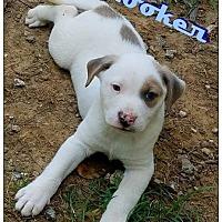 Adopt A Pet :: Rooker - Commerce, TX