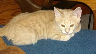 Domestic Shorthair Cat for adoption in Oviedo, Florida - Stubster