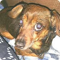 Adopt A Pet :: Beau - Andalusia, PA