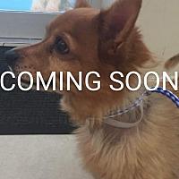 Adopt A Pet :: Bongo - Venice, FL