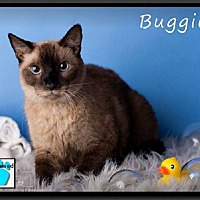 Adopt A Pet :: Buggie - Gilbert, AZ