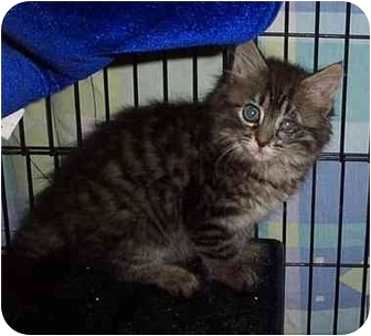 Maine Coon Kitten for adoption in Randolph, New Jersey - Snuggle