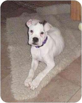 Boxer Puppy for adoption in Davis, California - LadyBug