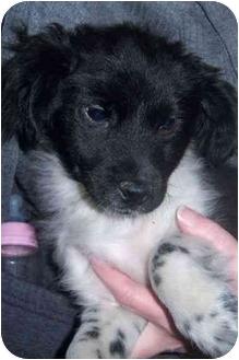 Dachshund/Spaniel (Unknown Type) Mix Puppy for adoption in Richmond, Virginia - Rudy