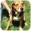 Photo 3 - Beagle Dog for adoption in Indianapolis, Indiana - Ike