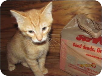 """Domestic Shorthair Kitten for adoption in Oxford, Connecticut - """"Oliver"""""""