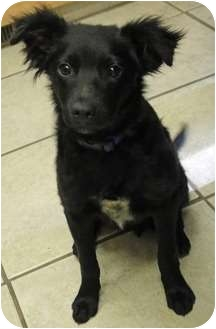 Border Collie Mix Puppy for adoption in Salt Lake City, Utah - B Pups - Bodi