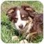 Photo 3 - Australian Shepherd Mix Puppy for adoption in Foster, Rhode Island - Ivy
