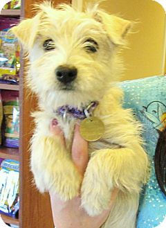 Schnauzer (Miniature)/Westie, West Highland White Terrier Mix Puppy for adoption in Oak Ridge, New Jersey - Cake-ADOPTED!