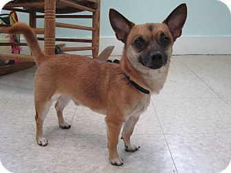 Chihuahua Mix Dog for adoption in Bradenton, Florida - Walter