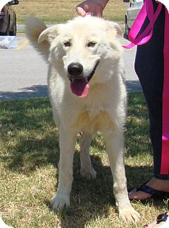 Great Pyrenees/Shepherd (Unknown Type) Mix Dog for adoption in Tulsa, Oklahoma - Heather  *Adopted