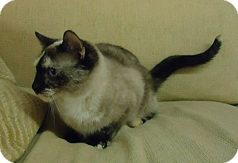 Siamese Cat for adoption in Speedway, Indiana - Flora (bonded with Pepper)