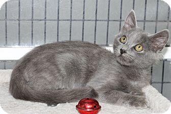Domestic Shorthair Kitten for adoption in Covington, Louisiana - Tate