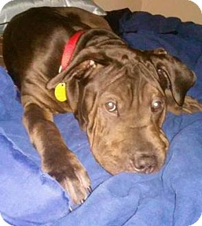Rottweiler/Shar Pei Mix Dog for adoption in Livonia, Michigan - Mugsy
