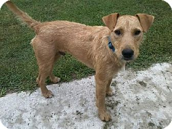 Airedale Terrier Mix Dog for adoption in Windham, New Hampshire - Jake