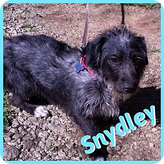 Schnauzer (Miniature)/Terrier (Unknown Type, Small) Mix Dog for adoption in Newnan, Georgia - Snydley