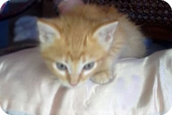 Domestic Shorthair Kitten for adoption in Marble Falls, Texas - Robbie