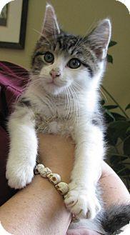 Domestic Shorthair Kitten for adoption in Tulsa, Oklahoma - Scotty