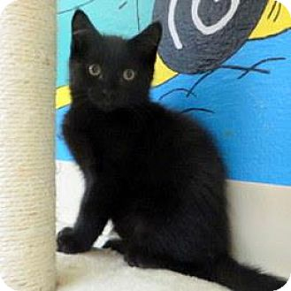 Domestic Shorthair Kitten for adoption in Janesville, Wisconsin - Hudson