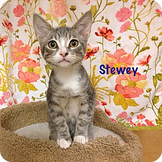 Domestic Shorthair Kitten for adoption in Foothill Ranch, California - Stewey
