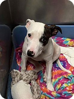 Pit Bull Terrier Mix Puppy for adoption in Lancaster, Texas - Emmy Lou