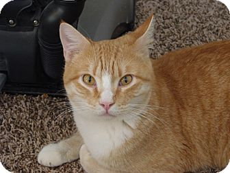 Domestic Shorthair Cat for adoption in Homewood, Alabama - McGregor