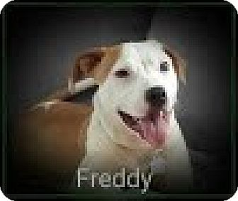 Pit Bull Terrier Mix Dog for adoption in Laingsburg, Michigan - Freddy