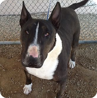 Bull Terrier Dog for adoption in Los Angeles, California - Archie