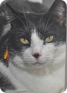Domestic Shorthair Cat for adoption in Venice, Florida - Tammi