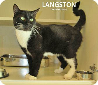 Domestic Shorthair Cat for adoption in Elizabeth City, North Carolina - Langston