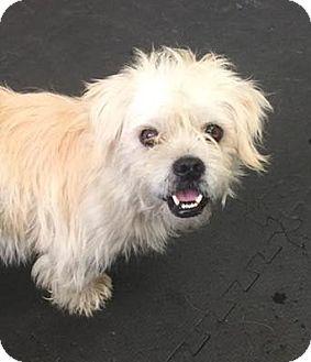 Shih Tzu/Terrier (Unknown Type, Medium) Mix Dog for adoption in Woodinville, Washington - Taylor