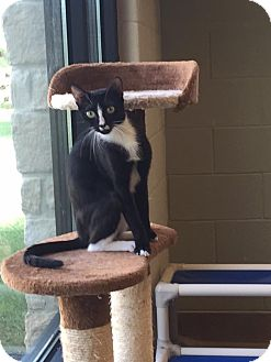 Domestic Shorthair Cat for adoption in Hickory Creek, Texas - Chelsea