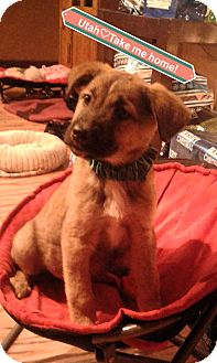 St. Bernard/Shepherd (Unknown Type) Mix Puppy for adoption in Victorville, California - Utah