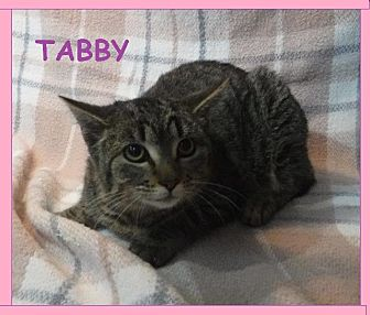 Domestic Shorthair Cat for adoption in Batesville, Arkansas - Tabby