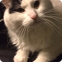 Domestic Longhair Cat for adoption in St. Louis, Missouri - Oliver