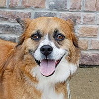Tibetan Spaniel Mix Dog for adoption in Lexington, Kentucky - Jackie