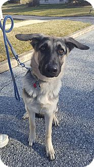 German Shepherd Dog Dog for adoption in New Oxford, Pennsylvania - Hunter