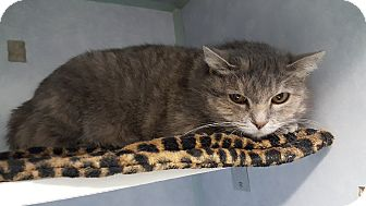 Domestic Shorthair Cat for adoption in Cody, Wyoming - Oatmeal