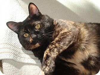 Domestic Shorthair Cat for adoption in Springfield, Oregon - Sassy