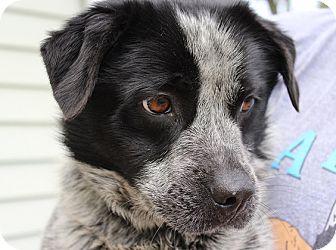 Australian Cattle Dog/Dachshund Mix Dog for adoption in Owasso, Oklahoma - Pepper