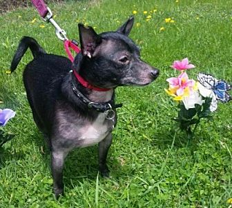 Chihuahua/Terrier (Unknown Type, Small) Mix Dog for adoption in Detroit, Michigan - Waylon