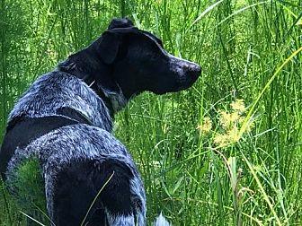 Labrador Retriever/Australian Cattle Dog Mix Dog for adoption in Royal Palm Beach, Florida - Daisy