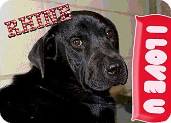 Labrador Retriever/Shar Pei Mix Dog for adoption in Burleson, Texas - Rhine