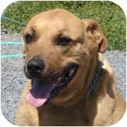 Rhodesian Ridgeback/Labrador Retriever Mix Dog for adoption in Concord, California - Sassy